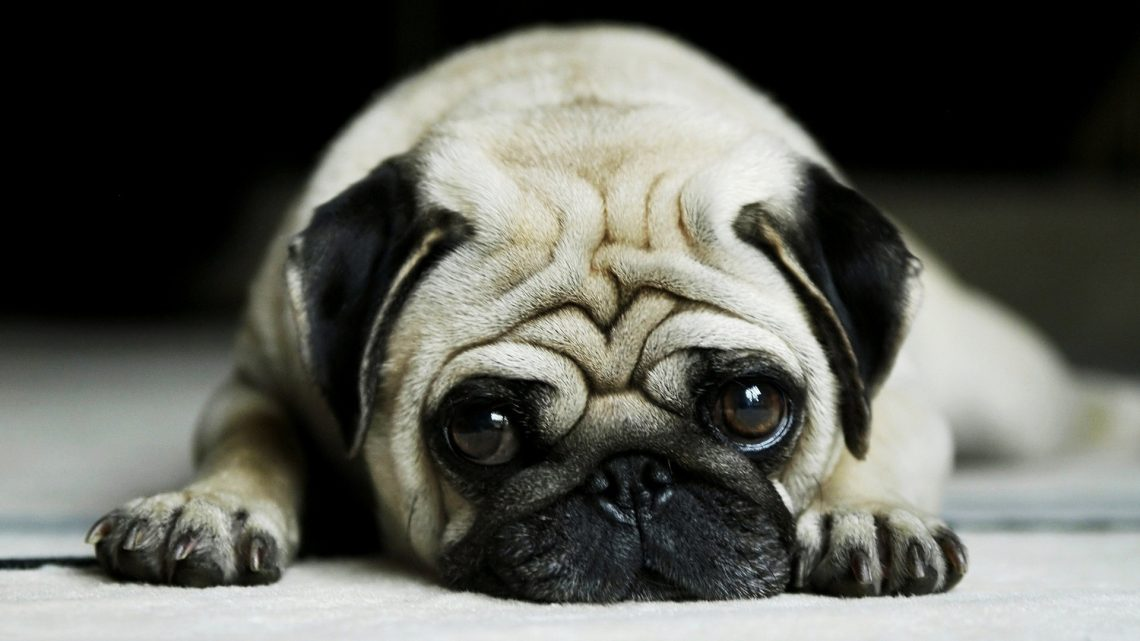 Planning To Get a Pug? Here Are The Things That You Need To Know