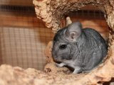Chinchillas as Pets: Debunking the Common Misconceptions